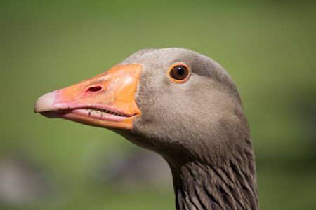 goose head: A close up image of a goose head with an orange bill