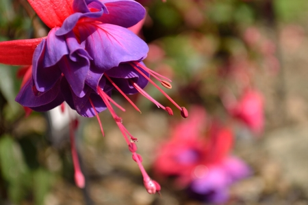 A close up of a purple and pink fuchsia flower