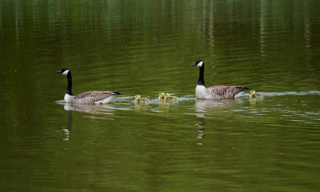A goose family on the water with the parents herding the goslings Banco de Imagens