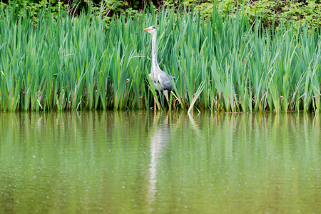 A heron hiding in the tall green grass by the water Banco de Imagens