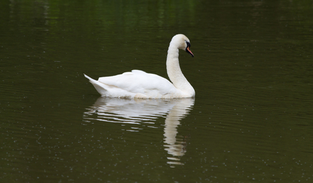 A swan with it's head bowed reflecting in the water Banco de Imagens