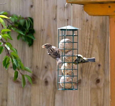 A house sparrow and a blue tit feeding on fat balls from a green bird feeder hanging from a wooden bird house Banco de Imagens