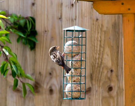 A house sparrow feeding on fat balls from a green bird feeder hanging from a wooden bird house Banco de Imagens