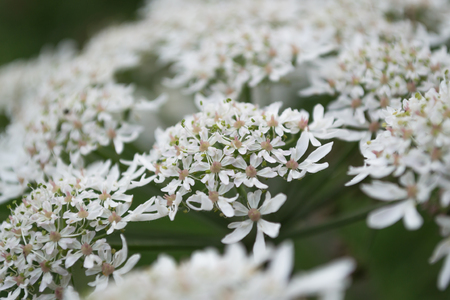 A close up of hemlock parsley flowers in bloom