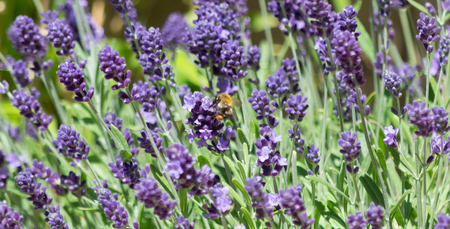A bumblebee surrounding by lavender petals gathering nectar from the plant Banco de Imagens