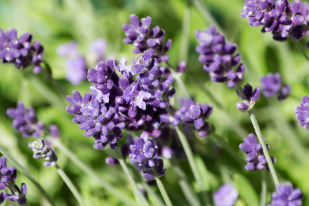 A close up of multiple lavender petals and stalks in the sun