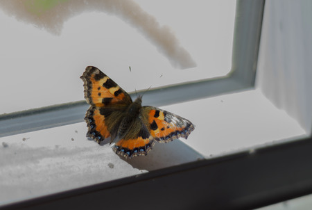 A close up of a small tortoise shell butterfly sitting on a windowsill with the sun pouring in casting a shadow