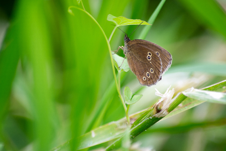 A ringlet butterfly hanging on to a green plant