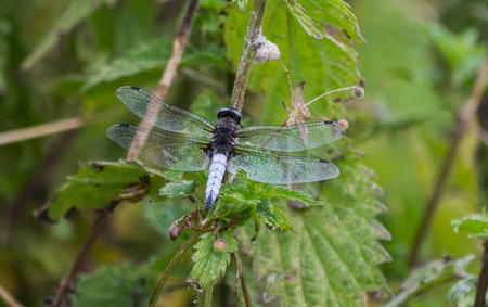 A close up of a scarce chaser dragonfly from behind with wings outstretched Banco de Imagens