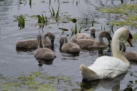 A group of cygnets and a swan feeding on the water
