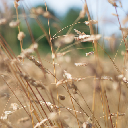 A close up of dried long grass out of focus Banco de Imagens