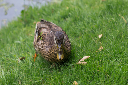 A close up of a duck waddling through green grass Banco de Imagens