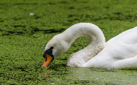 A close up of a large swan's head in algae covered water Banco de Imagens