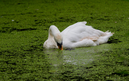 A large swan swimming through a river covered in algae while eating