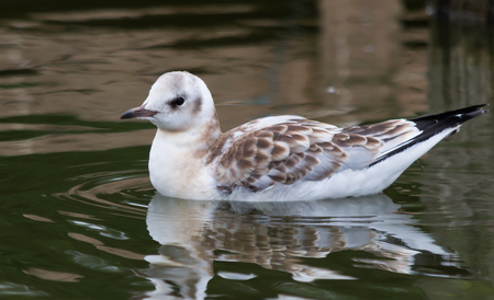 A close up of a young black headed gull making ripples in the water Banco de Imagens