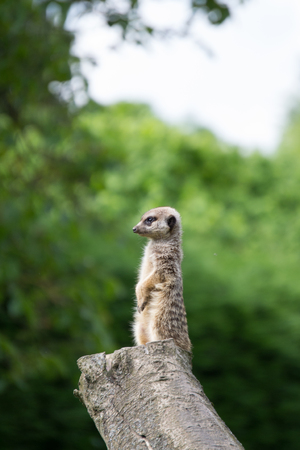 A meerkat keeping watch while sitting upright on a tree stump Banco de Imagens