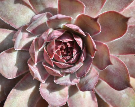 Looking into the centre of a red sempervivum houseleek plant from above Banco de Imagens