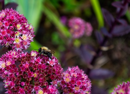 Close up of a bumble bee gathering nectar from sme purple flowers