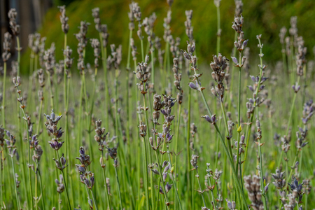 Dried out lavender in the sun on green stalks