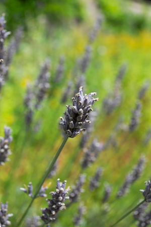 A close up of a lavender head that had dried out losing its bright purple colour Banco de Imagens