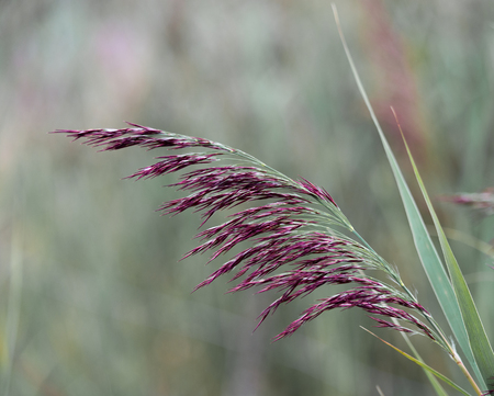 A close up of a common reed flower stalk capturing the striking deep red colour of the flowers Banco de Imagens