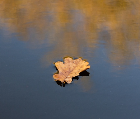 A golden autumn leaf sitting on top of water with autumn leaves reflected Banco de Imagens