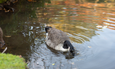 A goose with its head in the water looking for food with drops of water on its neck