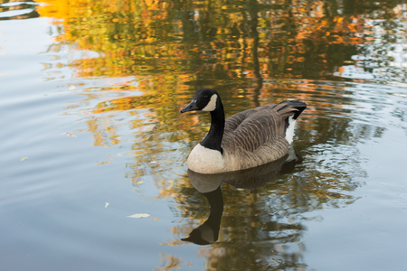 A goose sitting in the water causing ripples with it's reflection underneath