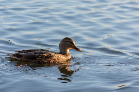 A duck sitting in the water soaking up the orange afternoon sun before night comes in