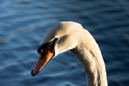 A swan basking in the afternoon sun with a close up on its next and head
