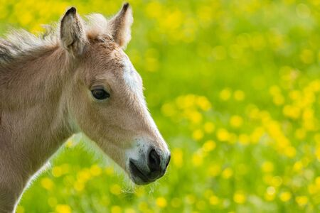 An portrait of an amber coloured foal (baby horse) backed by a field of green and yellow Banco de Imagens