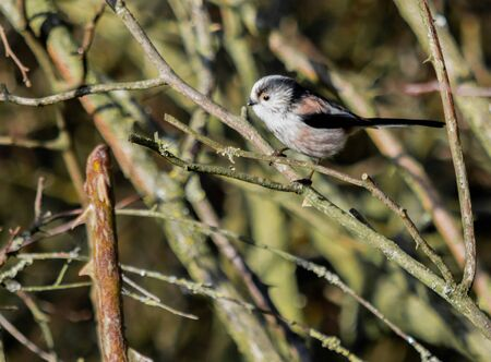 Close up of a long tailed tit sitting amongst the branches