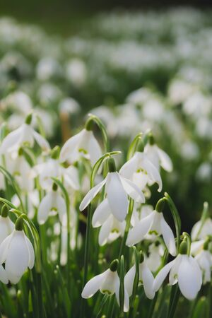 A field of winter snowdrops in the morning sun Banco de Imagens