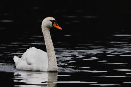 A lone swan paddling through a lake that appears black