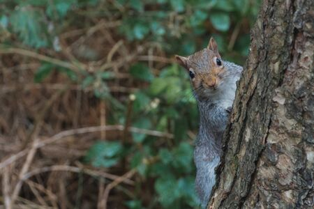A grey squirrel hiding behind a tree looking at the camera Banco de Imagens