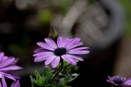 African daisy flower with a blurred background. This flower has purple petals and a deep purple stigma