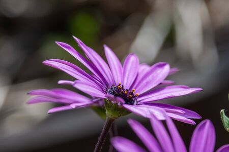 Purple African daisy flower with yellow stigma beginning to open up showing pollen on the tips Banco de Imagens - 145365112