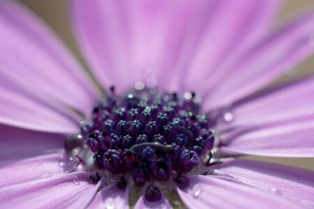 Close up of the stigma of a purple african daisy flower. The stigma is beginning to open up and show pollen underneath. Water droplets are also visible on the flower.