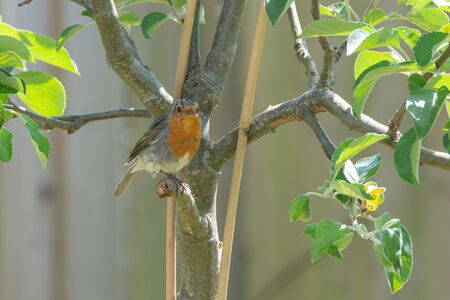 A robin bird sitting on a tree with a broken branch