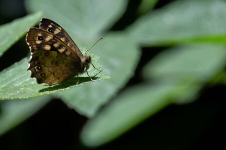 A close up of a ringlet butterfly purching on a leaf with the features of the butterfly clearly visible