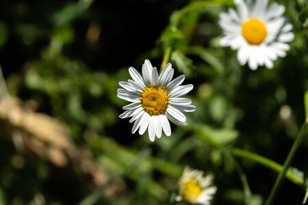 A white daisy flower with a yellow centre. The flower has a background of green and other daisies slightly out of focus