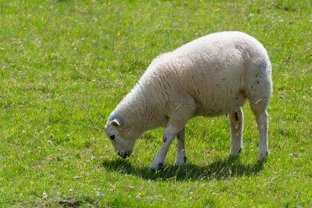 A white sheep eating green grass
