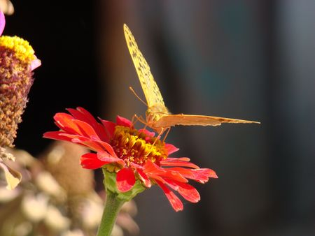 The butterfly on a flower sucks nectar photo