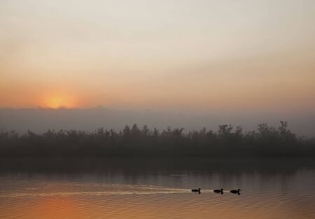 Three ducks  swimming in the early morning mist and the sun rising