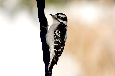 downy woodpecker: Close up of a Male Downy Woodpecker