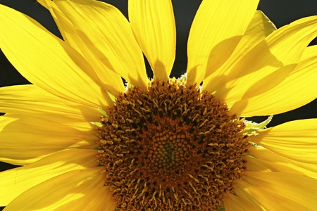 Close up of a sunflower using backlight Stock Photo