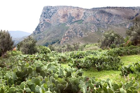 The Natural Reserve of Sicily. Prickly pear cactus grow wild at the natural reserve of Sicily, Italy.
