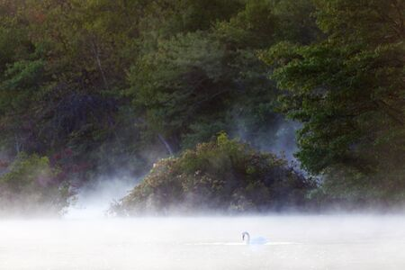 Morning mist rising  on the Carmens river. A swan graciously blending with the mist. photo