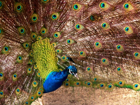 Peacock with open Plume posing to the left
