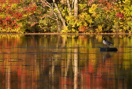 Canadian goose  perched on a log with colors of autumn surrounding it